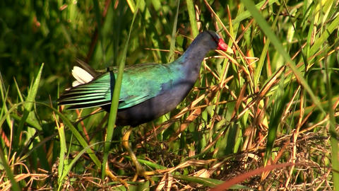 A gallinule in a swamp Stock Video Footage