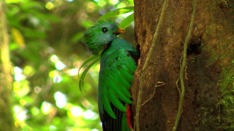 A quetzal parrot at his nest in Costa Rica rainfor Footage