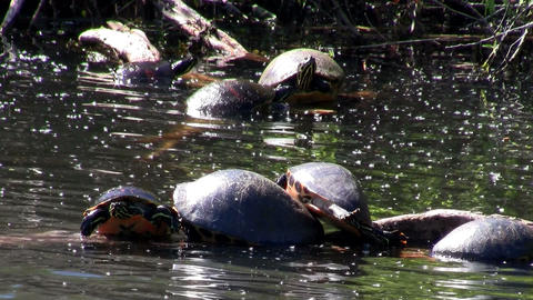 Turtles populate a pond in the Everglades, Florida Footage