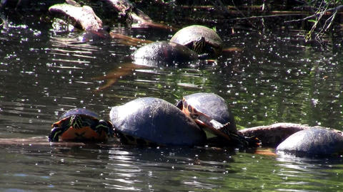 Turtles populate a pond in the Everglades, Florida Stock Video Footage