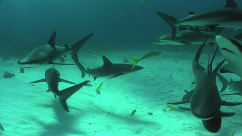 Good footage of many sharks swimming underwater Footage