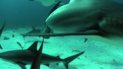 Good footage of many sharks swimming underwater Stock Video Footage