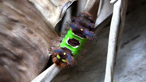 A saddleback caterpillar walks on a leaf in the Ev Stock Video Footage