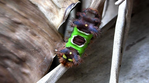 A saddleback caterpillar walks on a leaf in the Ev Footage