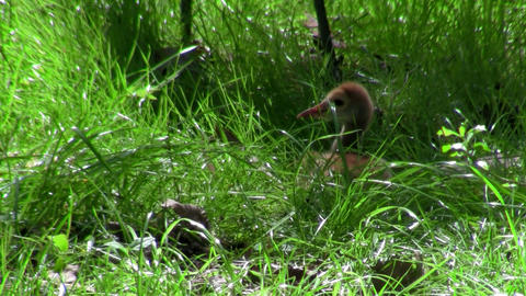 A snadhill crane chick walks in the grass Stock Video Footage