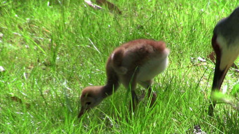 A snadhill crane chick walks in the grass as it's Stock Video Footage