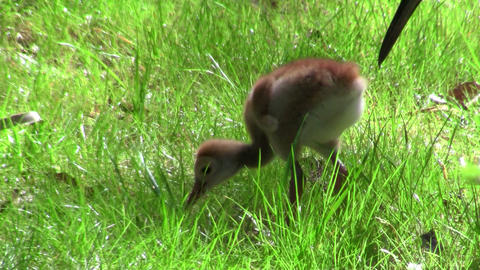 A snadhill crane chick walks in the grass as it's  Footage