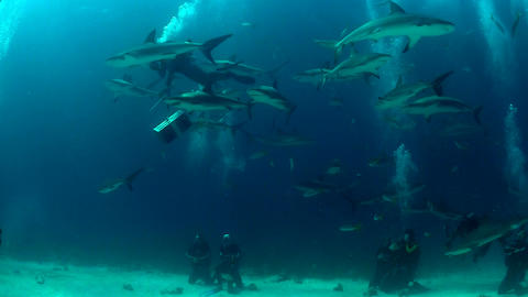 Good footage of many sharks swimming around a dive Stock Video Footage