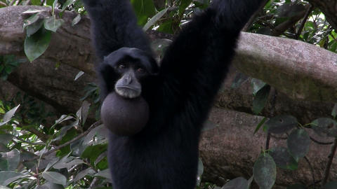 A siamang gibbon from Indonesia hangs in a tree an Footage