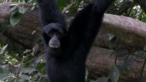 A siamang gibbon from Indonesia hangs in a tree an Stock Video Footage