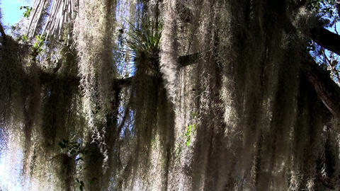 Sunlight shines through Spanish moss hanging from  Footage