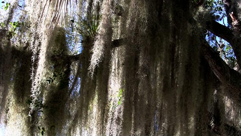 Sunlight shines through Spanish moss hanging from Stock Video Footage