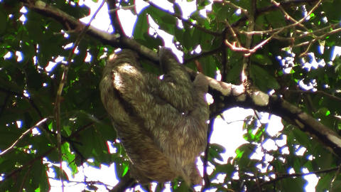 A sloth moves slowly in a tree Footage