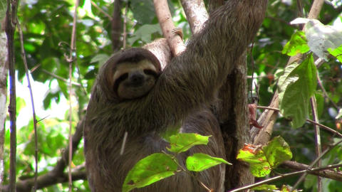 A sloth sits in a tree Stock Video Footage