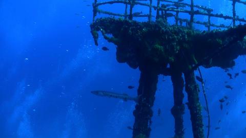 Barracuda swim around a wreck underwater Stock Video Footage