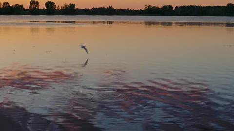 Seagulls flying over the lake after sunset, 4k Footage