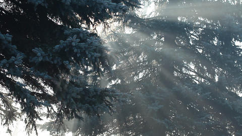 Beautiful sunbeams in pine forest, Poland Footage