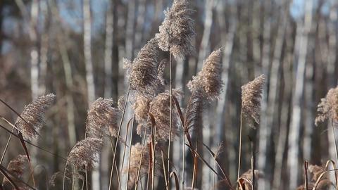 Common Reed (Phragmites) in the Pogoria III lake, Poland Footage