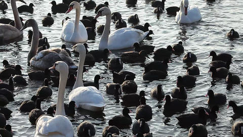 Swans and group of coots standing together on ice, winter time at lake in Poland Footage