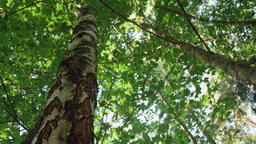 Low-angle dolly shot of a birch and maple tree forest Footage