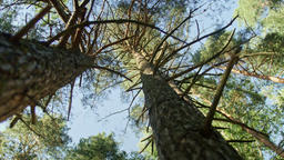 Low-angle dolly shot of a pine tree forest Footage