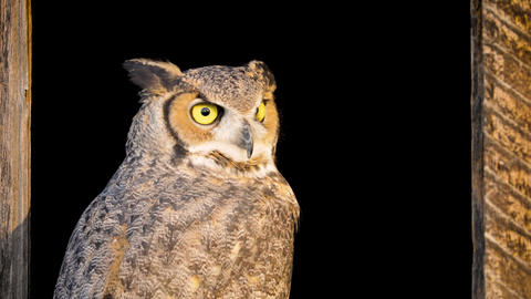 Beautiful Great Horned Owl Live Action