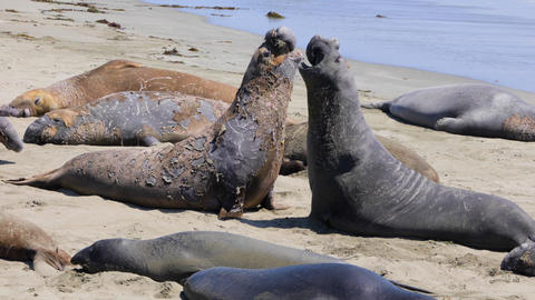 Elephant Seals on the central coast of California Live Action