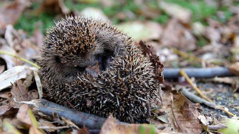 Cute sleeping hedgehog erinaceus europaeus in autumn czech landscape Live Action