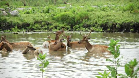 Red deer Herd Live Action