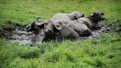 Gnu resting in water because of hot weather Live Action