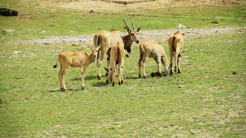 Family of Cape Eland Live Action