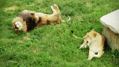 Relaxing Lion Couple on grass Live Action