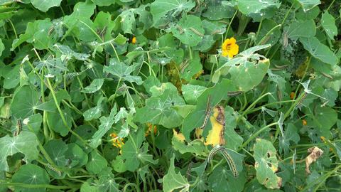 The caterpillars of the cabbage butterflies destroyed the cabbage crop, garden pests closeup Live Action