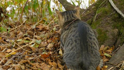tabby cat hunts Live Action