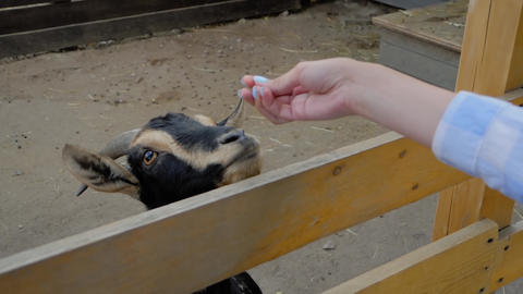 Woman feeding cute black goatling from hand at farm - slow motion, close up Live Action