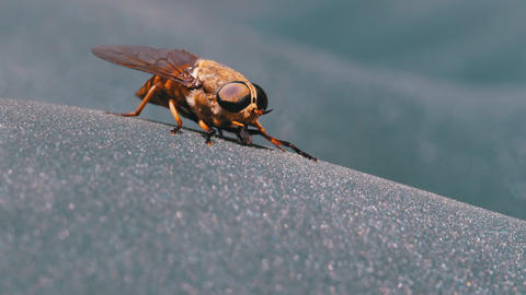 Gadfly Creeps Close-up. Horse-Fly in Macro. Slow Motion Live Action