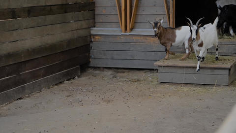 Two playful little goatlings running in the paddock at farm - slow motion Live Action