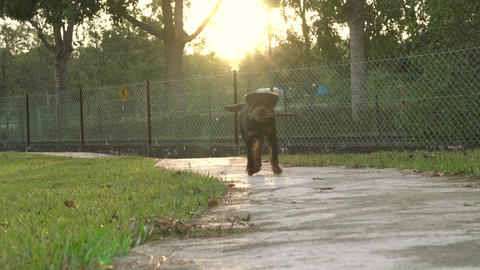 Dog biting a stick, run on footpath towards camera in the park Live Action