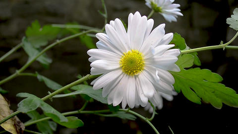 White chrysanthemum in the autumn garden Live Action