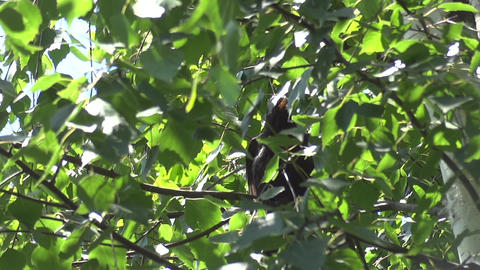 Blackbird sitting in a birch with green leaves and rotate their wings black 81 Footage