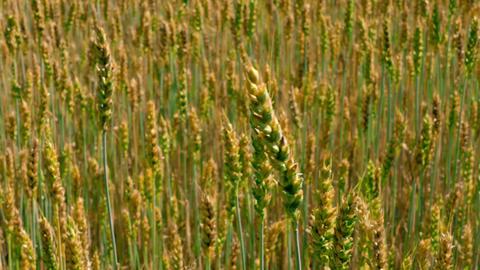 4K Wind Rustles in Ears of Field of Green and Yellow Unripe Wheat Footage