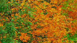 1080p Autumn Tree / Autumn Forest / Autumn Leaves Live Action