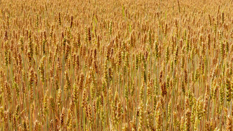 1080p Sliding Along Field of Ripe Golden Wheat Footage