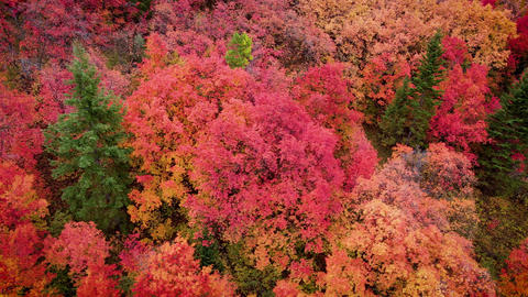 Flying over a forest with the trees turning their fall colors Live Action