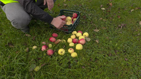 Worker put apples in plastic box Footage