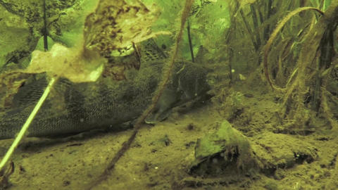 Freshwater Zander, Pike-perch or Sander lucioperca moves up from bottom covered  Footage