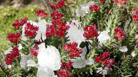 Snow Melting Red Flowers Time Lapse 4K Footage