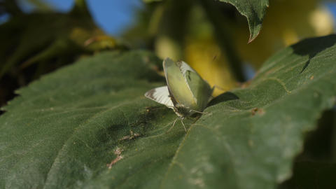 Two small cabbage white butterflies mating Live Action