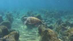 Green sea turtle (Chelonia mydas) floating over rocks and sand Footage