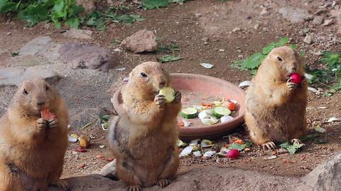 Prairie Dogs Eating Vegetables Footage